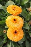 三朵黄色花连续 库存照片