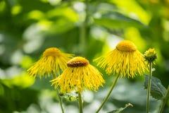 三朵黄色雏菊花 免版税库存图片