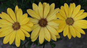 三朵黄色雏菊 免版税库存图片