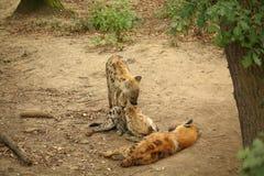 三条休息的被察觉的鬣狗-笑的鬣狗 库存图片