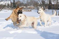 三条使用的狗在冬天 免版税库存图片