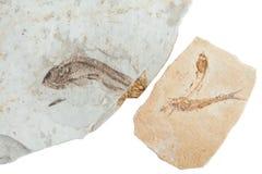 三条化石鱼 图库摄影