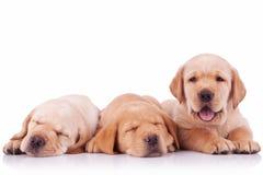 三条可爱的拉布拉多猎犬小狗 图库摄影