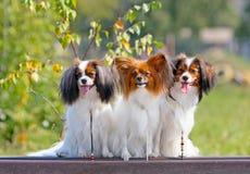 三条可爱的白红色狗坐一个长木凳 在秋天背景的许多小狗 图库摄影
