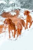 三条在雪的狗匈牙利vyzhla逗留在峭壁的冬天森林里 免版税库存图片