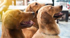 三条好奇逗人喜爱的金毛猎犬狗特写镜头  免版税库存照片