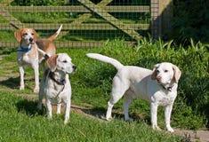 三条小猎犬狗 免版税图库摄影