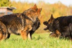 三条德国牧羊犬狗之间的通信 免版税图库摄影