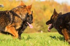 三条德国牧羊犬狗之间的通信 库存照片