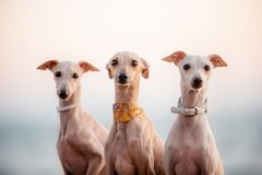 三条时兴的紫色狗意大利人灵狮,画象 免版税库存照片