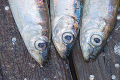 三条波儿地克的鲱鱼-特写镜头 库存照片