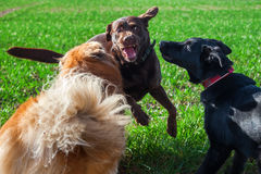 三条狗使用室外 库存照片