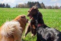 三条狗使用室外 免版税库存图片
