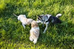 三条狗嗅到 图库摄影