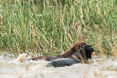 三条狗戏剧在芦苇附近的湖 免版税图库摄影