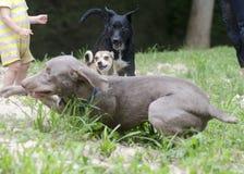 三条狗戏剧战斗的跑在沙子 库存图片