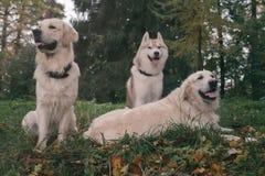 三条狗西伯利亚爱斯基摩人和金毛猎犬在秋天公园休息坐 免版税库存照片