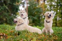 三条狗西伯利亚爱斯基摩人和金毛猎犬在秋天公园休息坐 免版税库存图片