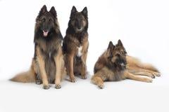 三条狗,比利时牧羊人特尔菲伦,被隔绝 图库摄影