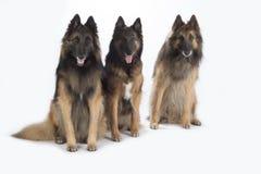 三条狗,比利时牧羊人特尔菲伦,被隔绝 库存图片