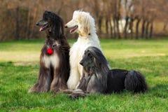 三条狗养殖阿富汗猎犬 免版税库存图片