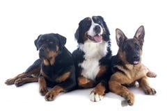 三条狗 免版税库存照片