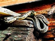 三条花纹蛇晒黑 库存图片