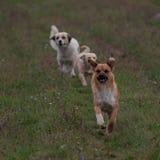 三条跑的嬉戏的狗 免版税库存照片