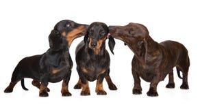 三条达克斯猎犬狗亲吻 库存图片