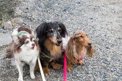 三条逗人喜爱纯血统狗摆在 免版税库存图片