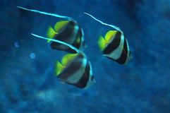 三条鱼在dee的Heniochus acuminatus被弄脏的背景  库存照片