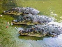 三条鳄鱼 免版税库存图片