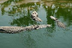 三条鳄鱼 免版税图库摄影