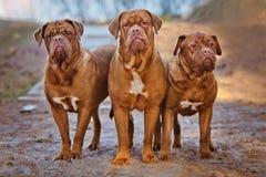 三条dogue de bordeaux狗 免版税图库摄影