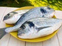 三条dorado鱼特写镜头 免版税库存图片