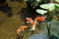 三条Koi鱼在池塘 免版税库存照片
