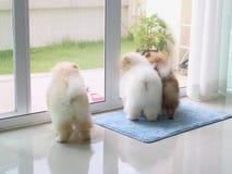 三条pomeranian小狗在家 免版税库存图片