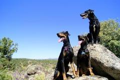三条stuning的狗 图库摄影