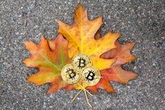 三枚Bitcoin金黄硬币在五颜六色的秋叶,特写镜头,空白说谎 Cryptocurrency概念 库存照片