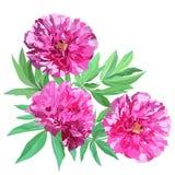 三株大桃红色花牡丹的构成与在白色背景隔绝的叶子的 皇族释放例证