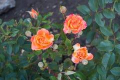 三桃红色和黄色庭院玫瑰在10月 免版税库存图片
