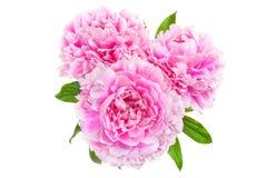 三桃红色牡丹 免版税库存照片