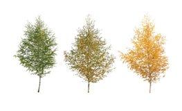 三桦树 免版税库存照片