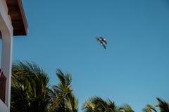 三棕色鹈鹕群飞行在棕榈树 免版税库存照片
