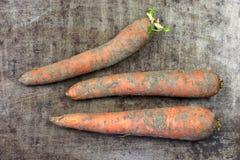 三棵冬天红萝卜 免版税库存照片
