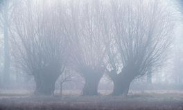 三棵冬天角被割下的动物杨柳在草甸 免版税库存照片