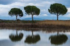 三棵杉木和他们的反射 库存照片