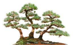 三棵杉木盆景树 免版税库存图片