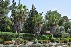 三棵棕榈树在公园 库存照片