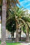 三棵棕榈树 库存图片